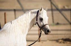 аравийская лошадь стоковое фото rf