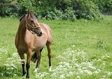 аравийская лошадь стоковые изображения