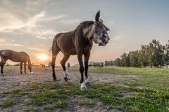 Аравийская лошадь быть любознательный Стоковые Изображения RF