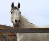 Аравийская лошадь смотря бдительный деревенской загородкой Стоковая Фотография RF