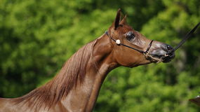 аравийская лошадь Стоковое Изображение