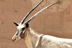 Аравийская статуя сернобыка на зоопарке Феникса, центре для охраны окружающей среды, Фениксе Аризоны, Аризоне, Соединенных Штатах стоковая фотография