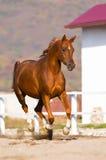 аравийские бега лошади gallop каштана Стоковое Изображение RF