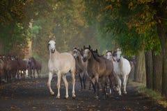 Аравийские лошади в бульваре chesnut Стоковое Изображение RF