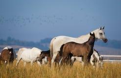 Аравийские лошади в свете утра Стоковая Фотография