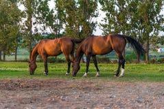 Аравийские лошади пася Стоковая Фотография