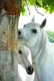 аравийские лошади Стоковое Изображение