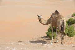 Аравийский верблюд дромадера в пустыне Стоковое Изображение RF
