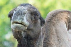 Аравийский верблюд дромадера отдыхая в тени Стоковая Фотография