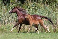 Аравийский галлоп лошадей на летнем времени естественной предпосылки Стоковое Изображение