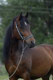 аравийский коричневый пони лошади Стоковые Изображения