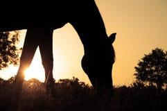 аравийский пася силуэт лошади Стоковые Фотографии RF