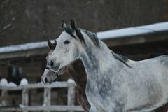 Аравийский портрет зимы лошадей головка стоковые фотографии rf