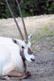 Аравийский сернобык в зоопарке (вертикальном) Стоковые Фото