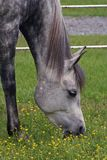 аравийский серый цвет Стоковое Изображение