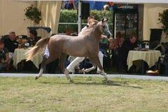 Аравийский чемпионат лошади Стоковое Изображение