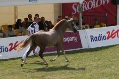 Аравийский чемпионат лошади Стоковая Фотография