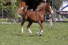 аравийский galloping жеребец Стоковые Изображения