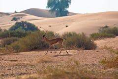 аравийский gazelle Стоковая Фотография RF