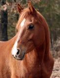 аравийский gelding Стоковые Фотографии RF