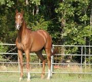 аравийский gelding стоковое фото rf