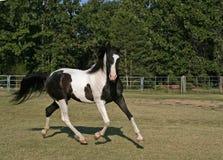 аравийский gelding pinto стоковые изображения rf