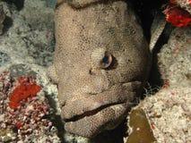 аравийский grouper Стоковые Изображения RF