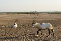 аравийский oryx Стоковые Фотографии RF