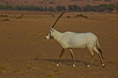 аравийский oryx Стоковые Изображения RF