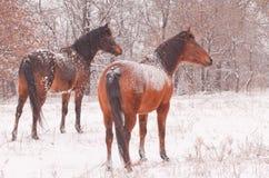 2 аравийских лошади в пурге смотря прочь Стоковое Изображение RF