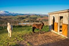 2 аравийских лошади конюшнями Стоковое Изображение RF