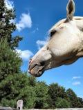 Аравийское â 4030 жеребца Стоковое Изображение RF