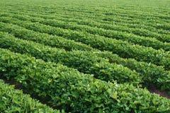 арахис фермы Стоковые Изображения RF
