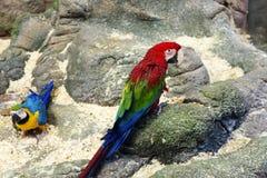 Ара красного цвета попугая Стоковая Фотография RF