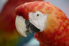 Ара красного цвета попугая Стоковое фото RF