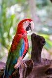 Ара попугая. Стоковые Изображения