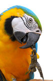 Ара Сине-и-золота Стоковые Фото