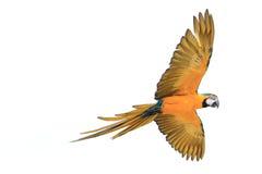 ара Сине-и-золота Стоковая Фотография RF