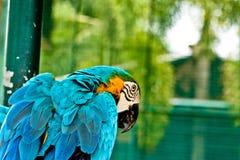 Ара сини и золота стоковая фотография