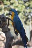 Ара сини и золота сидя на ветви дерева Стоковое Фото