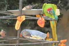 Ара стоя ел плодоовощи Стоковая Фотография RF
