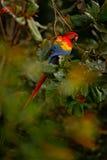 Ара шарлаха, Ara Макао, в темном ом-зелен тропическом лесе, Коста-Рика, сцена живой природы от троповой природы Красная птица в P стоковая фотография