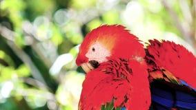 Ара Ara ары шарлаха, также известная как красная и зеленая ара сидя на пере ветви и очищать для одина другого сток-видео