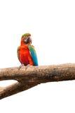 Ара parrots птица на предпосылке изолированной белизной Стоковые Изображения