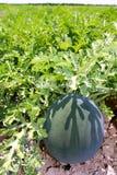 арбуз воды дыни плодоовощ поля земледелия большой Стоковое Изображение RF