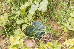 Арбуз в саде Стоковое фото RF