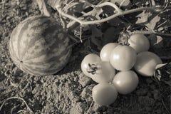 Арбуз и желтые томаты Стоковые Фото