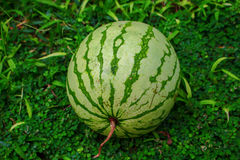 Арбуз на зеленой траве Весь арбуз с бледным и ярким striped фото кожи внешним Стоковые Фотографии RF