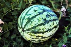 Арбуз растя в саде стоковое фото