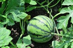 Арбуз растя в саде Стоковая Фотография RF